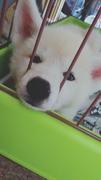 わたしと秋田犬と柴犬と。
