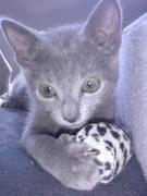 ロシアンブルー  猫の物語
