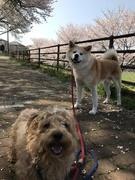 秋田犬ドンちゃんとミックス犬ジョイ君気ままな旅日記