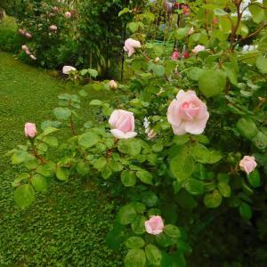 バラと雑草・小さな菜園と