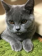 おてんば猫(ブリショー)マロンの日記