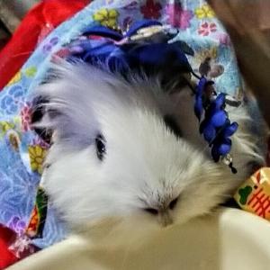 モルモット雪千の公式ブログ[˚*.★snow blossom★.*˚]~下僕の葛藤~
