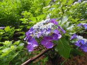 ホワイトの紫陽花日記〜ありのままの自分で