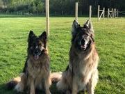 German Shepherd Banchan & Hanako