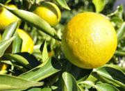 スギ花粉症対策:北山村の特許取得ジュースで症状改善