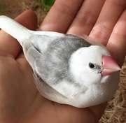 白文鳥 ときどき 苺大福