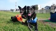 黒犬コンビと飼い主の気ままブログ
