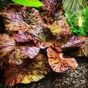 水草ファームグリーンカーペットのブログ