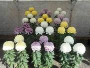 tadasi331岡ちゃんの菊の世界
