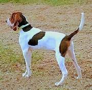 狩猟犬サツマビーグルのつぶやき