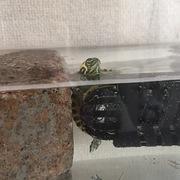 どうして亀は黄色い腹?