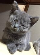 鼻水シャルトリュー育猫記