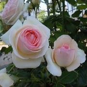 マロンショコラの薔薇と癒し