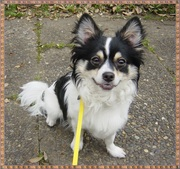 愛犬デカチワワは尿石症!その治療と費用を公開します