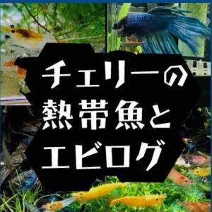 http://ameblo.jp/cherry-shrimp/
