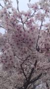 桜咲さんのプロフィール