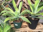 アガベアテナータ好きの観葉植物育て方、増やし方