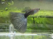 泉熱帯魚の国産グッピーブログ