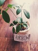 yukikono