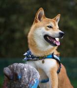 柴犬 拳(けん) お散歩ブログ