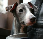 Italian Grayhound Style