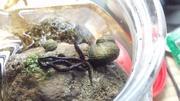 『マッツン』草稿ブログ:奥能登出身の小さな巻貝たち