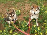 四国犬と島暮らし