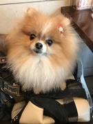 大阪の少犬ポメラニアンハイジ