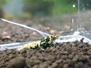 anera shrimp
