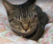 キジトラ猫のりんちゃん