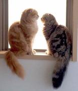 スコティッシュな二人 リン&ララ愛猫アルバム