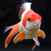 趣味の金魚アクアリウム