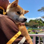 ube-ichi柴犬半蔵ブログ