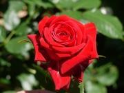 私のバラに逢いたくて