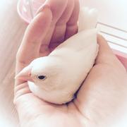 白文鳥あめちゃんとの日々