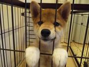 柴犬つむぎの成長記録