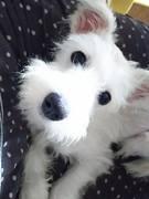 mix犬シュナプーぼたんの骨折治療と多頭飼いライフ