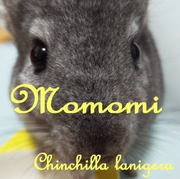 チンチラ MOMOMI
