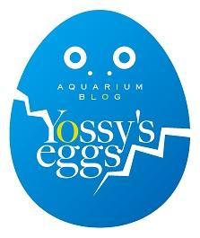 yossy's  eggs