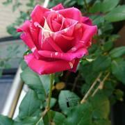 クリシェのちいさな薔薇園