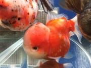 金魚セルフィンらんちゅう