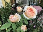クレマチスとバラ