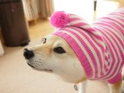 柴犬マコと、はちわれサチ