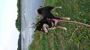 <ポロン(黒柴犬)&キャンディ(スムースチワワ) の