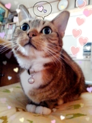愛猫チャッピーくんマンチカンブログ