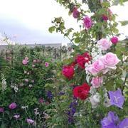 「天空のバラ園」 Celestial-Roses