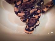 ヘビを飼ふ