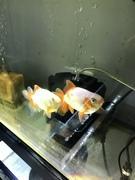 hiroの金魚飼育日誌