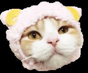スコティッシュ子猫ブリーダー販売ペットショップ許可