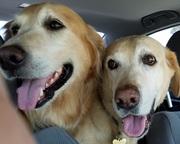 大型犬との生活 保護犬ゴールデン&ラブラドール